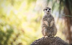 De Close-up van Meercat Royalty-vrije Stock Afbeelding