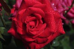 De close-up van mooie en verleidelijke rood nam met verse dauwdalingen toe royalty-vrije stock fotografie
