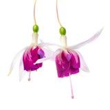 De close-up van mooie rode en witte fuchsiakleurig bloem is geïsoleerd Royalty-vrije Stock Foto's