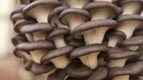 De close-up van oesterpaddestoelen stock videobeelden