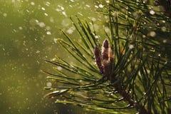 De close-up van de pijnboomboom met regendruppels Stock Afbeelding