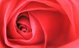 De close-up van rood nam toe Stock Afbeelding