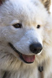 De close-up van Samoyed Stock Afbeelding