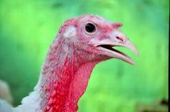 De close-up van Turkije in een landbouwbedrijf Royalty-vrije Stock Foto