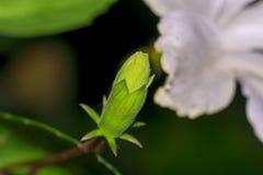 De close-up van unbloomed Hibiscusstigma of de knop van de Carpelbloem Stock Foto
