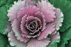 De close-up van unharvested roze kool Stock Foto