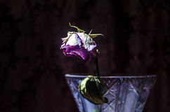 De close-up van vernietigde en droge roze en geel nam bloemblaadjes op zwarte toe Royalty-vrije Stock Fotografie