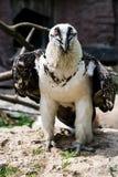 De close-up van de vogeladelaar, adelaarshoofd en bek stock foto