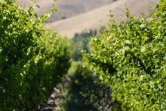 De close-up van wijnstok gaat weg en stamt Royalty-vrije Stock Foto's