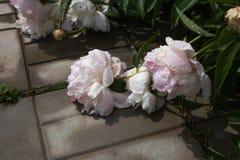 De close-up van wit en roze verwelkte pioenbloemen met waterdalingen na regen vaas toe stock afbeelding