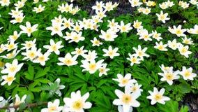 De close-up van witte anemonen op lichte wind in een Botanische Tuin, ??n van de eerste bloeit in de lente, zachte nadruk stock videobeelden