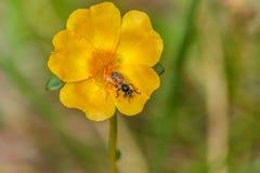 De close-upbijen zijn het zwermen geel stuifmeel Honingbij die aan yel werken Royalty-vrije Stock Afbeelding