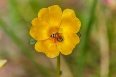 De close-upbijen zijn het zwermen geel stuifmeel Honingbij die aan yel werken Stock Afbeelding