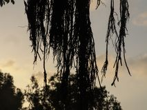 De close-upmening van exotische boom lange naakte takken silhouetteert in bruin met selectieve nadruk met zonsonderganghemel op d stock fotografie