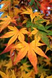 De close-upmening van Japanse esdoorn verlaat in de herfst draaiende kleuren stock foto's