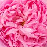De close-upmening van mooie roze nam bloem toe stock afbeeldingen