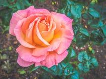 De close-upmening van mooie veelkleurig nam bloem in de tuin tegen zacht-geconcentreerde achtergrond toe royalty-vrije stock foto's