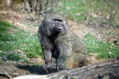 De Close-upportret van Papio Anubis van de bavianenaap stock foto's