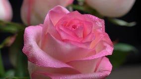 De close-upspruit van mooie roze nam installatie in openlucht met waterdalingen op zijn bloemblaadjes in de tuin toe stock footage