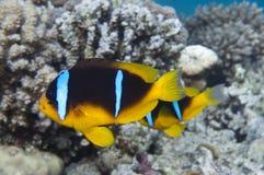 De clown-vissen van het paar is onderwater Stock Fotografie