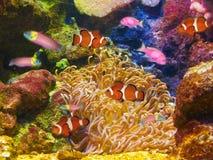 De clown vist onderwater Royalty-vrije Stock Afbeeldingen