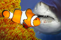 De clownfish en het aanvallen haai. stock afbeeldingen