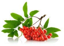 De cluster van Ashberry met rode bes en groen blad Stock Foto's