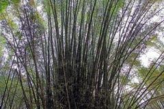 De Cluster van bamboeinstallaties Royalty-vrije Stock Afbeeldingen
