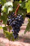 De cluster van de druif Royalty-vrije Stock Foto's
