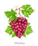 De cluster van de druif met groene bladeren Royalty-vrije Stock Afbeelding