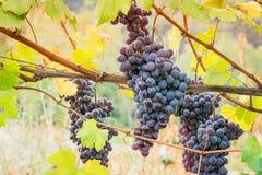 De cluster van de wijngaarddruif Royalty-vrije Stock Fotografie