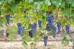 De cluster van de wijngaarddruif Stock Fotografie