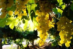 De cluster van druiven Stock Foto's