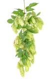 De cluster van hop met doorbladert   stock foto's