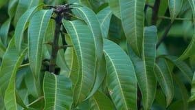 De cluster van mangobladeren op boom, 4K stock videobeelden