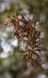 De cluster van monarchvlinders Royalty-vrije Stock Afbeeldingen