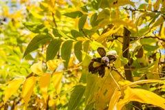 De cluster van de pecannootnoot het hangen van de takken van de de herfstpecannoot, worden bekeken die van onderaan royalty-vrije stock foto