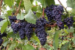 De Clusters van de Druif van de wijn Royalty-vrije Stock Afbeelding