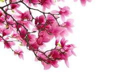 De clusters van de magnolia Stock Foto's