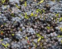 De Clusters van de rode Wijndruif royalty-vrije stock afbeelding
