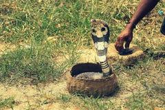 De cobra belemmert binnen Stock Foto's