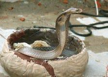De cobra die van de koning uit komt Stock Afbeelding