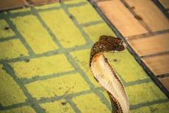 De cobra spreidde de kap uit stock afbeeldingen