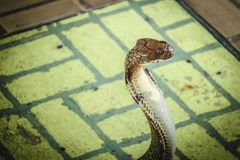 De cobra spreidde de kap uit royalty-vrije stock foto's