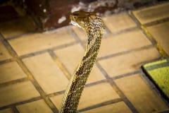 De cobra spreidde de kap uit stock foto's