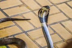 De cobra spreidde de kap uit stock afbeelding