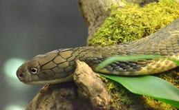 De Cobra van de koning Stock Foto's