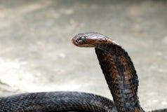 De cobra van de koning stock fotografie