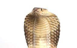De Cobra van de koning op wit Stock Fotografie