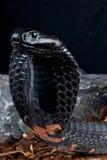 De cobra van het spuwen Royalty-vrije Stock Afbeeldingen